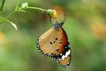 Danaus chrysippus ������