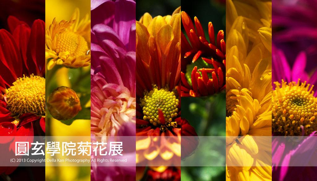 圓玄學院菊花展2013