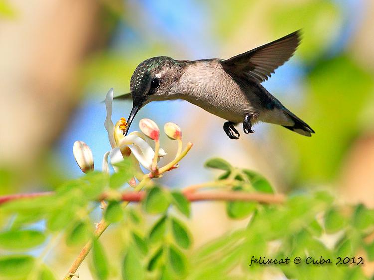 雌性吸蜜蜂鳥 (Bee Hummingbird, female)