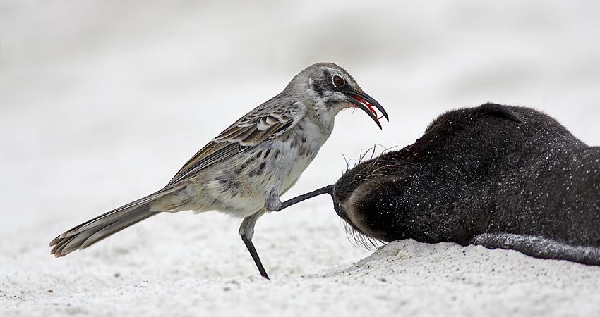Hood Mockingbird in Española