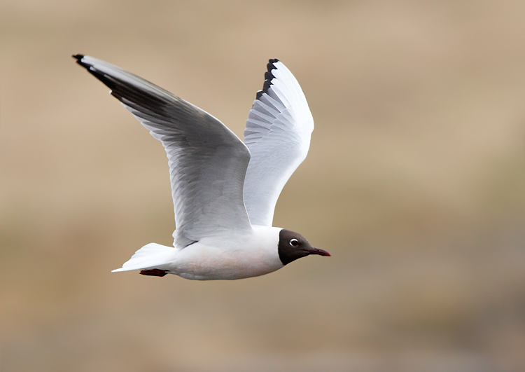 Black-headed Gull 紅咀鷗