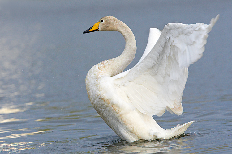 Whooper Swan &  Others 大天鵝和其他