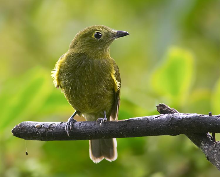 厄瓜多爾本土的鳥