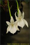 DSC_9631_nEO_IMG Angcm. magdalenae