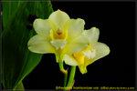 DSC_2382_nEO_IMG Bifrenaria harrisoniae var. alba