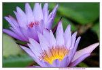 07042019_Ma Wan Snapshots_Flowers_Lotus00008