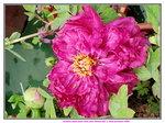 23012020_Victoria Park CNY Flower Fair_Peony00008