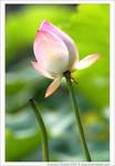 Lotus_25s