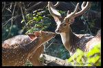 Spotted Deer 斑鹿 @ Chitwan National Park