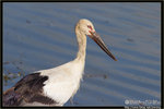 Oriental Stork 東方白鸛